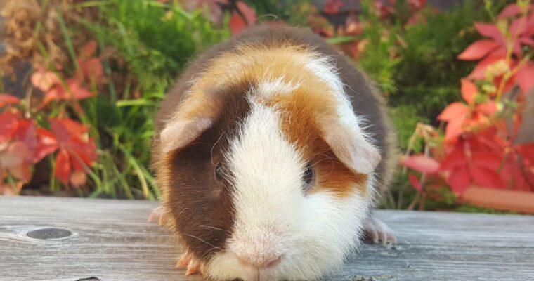 HAUKE HERING Glucksschweinchen aus Oberbussau, DE