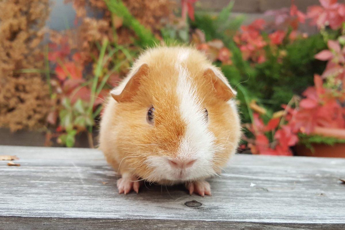 J Glucksschweinchen aus Oberbussau, DE